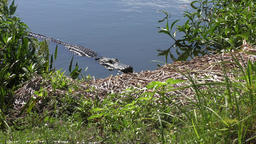 alligator looking out from a lake Footage