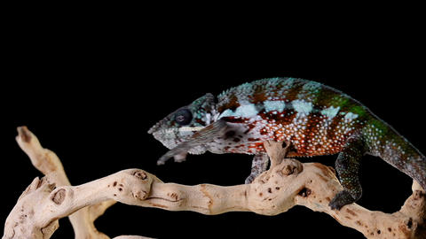 Panther Chameleon Walk Across a Branch Footage