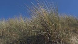 Marram Grass in Zeeland Footage