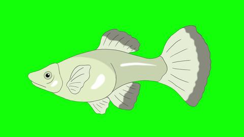 Big Silver Guppy Aquarium Fish Chroma Key looped Animation