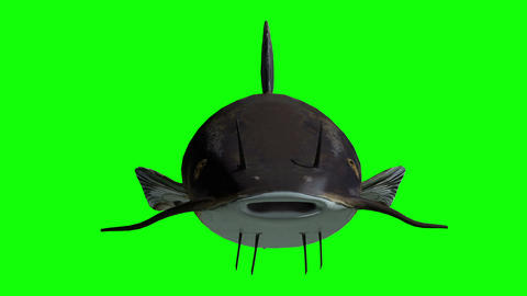 Animation of a catfish with green screen Animation