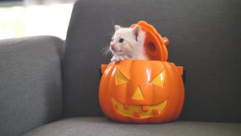 4K Cute tabby kitten hiding inside orange pumpkin bucket, Happy Halloween Footage