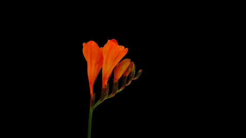 Time-lapse opening orange freesia flower buds, 4K with ALPHA channel Live Action