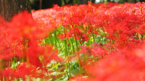 Red spider lily in the forest medium shot shallow focus Live Action