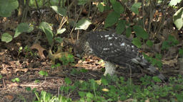 Coopers hawk eats its prey Footage