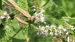 large praying mantis on a plant Footage
