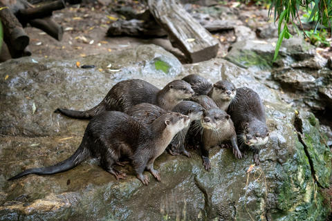 Group of oriental small-clawed otter (Amblonyx cinereus) Photo