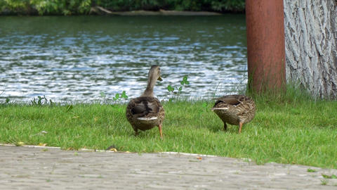 Two ducks walking on the green grass Footage
