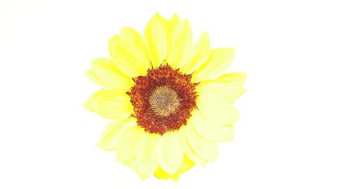 Slowly revolving sunflower Footage