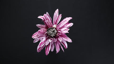 Slowly revolving colourful daisy flower with cigarette Filmmaterial