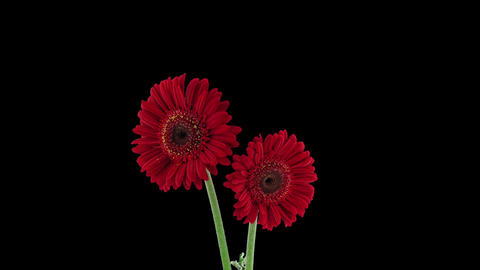 Time-lapse Of Growing And Opening Red Gerbera Flower In RGB + ALPHA Matte Format stock footage