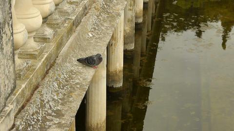 Dove at Jardin des Fontains, Nimes France Footage