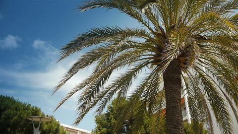 Waving palm tree at Cote D'Azur France Live Action