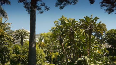 Waving palm trees at Monaco, Cote D'Azur France Live Action