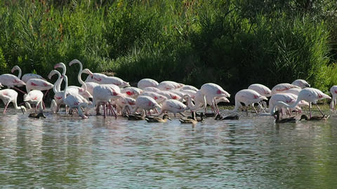 Group of pink flamingos in 4k Archivo