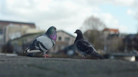 Two lovely birds in Amsterdam Footage