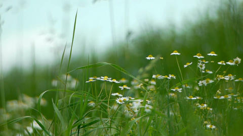 Camomile plants at the countryside Footage