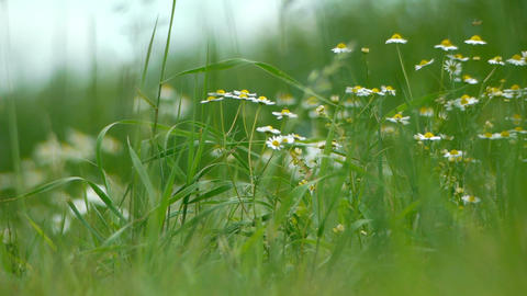 Chamomile plants in the field Footage