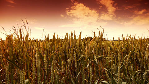 Fields of golden wheat corn at the countryside Footage