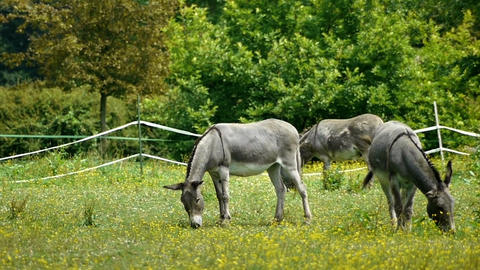 Donkeys at the french countryside Footage
