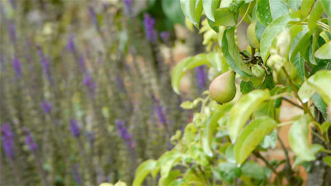 Slate pear, fruit at an old walled botanical garden Footage