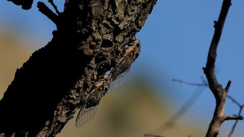 Cicada on the tree 2 Footage