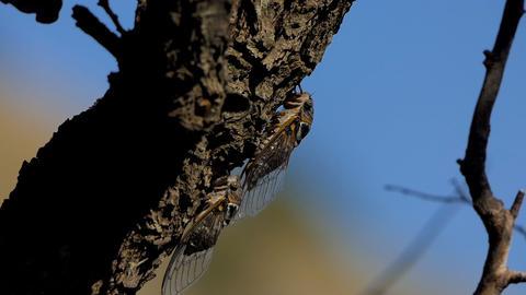 Cicada on the tree 1 GIF