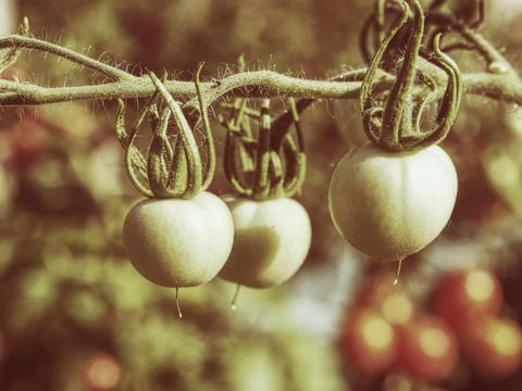 Fresh unripe green tomatoes hanging on the vine of a tomato plant Fotografía