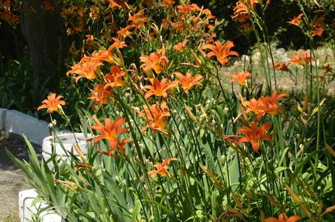 Orange flower daylily, SHRUB GROWING IN the FLOWERBED IN the GARDEN Photo
