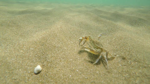 Sea crab floats away from pursuit Underwater video Live Action