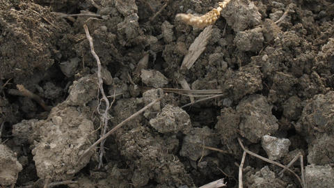 The farmer, when cultivating the soil, discovered the parasite Larvae of Mole Footage