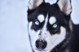 Funny Surprised Looking White And Black Dog On the White Sparling Snow Photo
