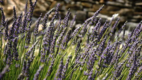 Close-up of Lavender Stock Video Footage