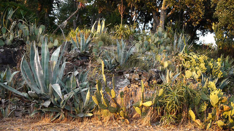 Flowering succulents and cacti in south France Live Action