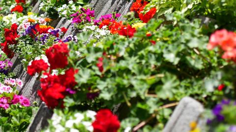 Beautiful red flowers . Flowers in decorative flower beds Stock Video Footage