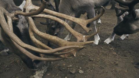 Arctic reindeers eat moss Footage