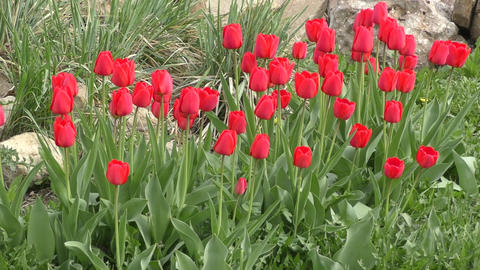 Red tulips swinging in the wind Footage