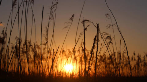 Sunset Behind The Reeds stock footage