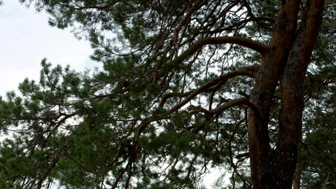 Trees of the coniferous forest Footage