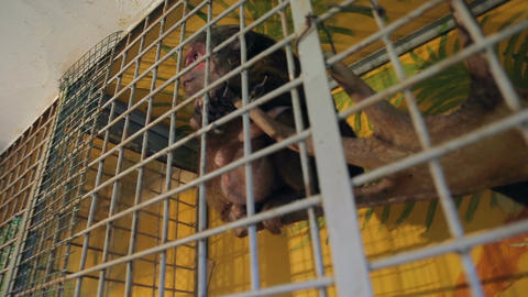 Animal shelter, monkey in a cage Footage