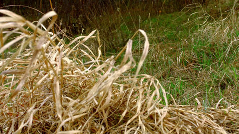 The old dry grass growing in the field Footage
