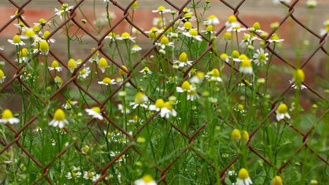 chamomile grows next to iron mesh Live Action