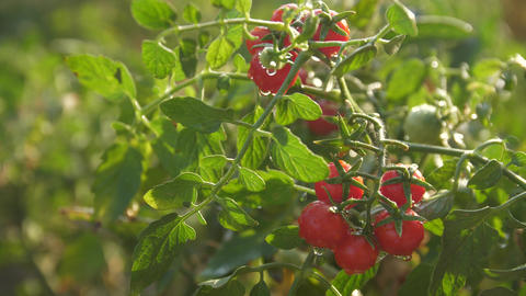Bush of cherry tomatoes in the morning sun rays Drops on berries shine in the Footage