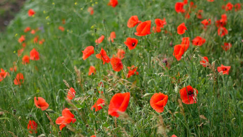 Red poppies field. Poppy flowers field. Poppy flowers swaying, fluttering in the Footage