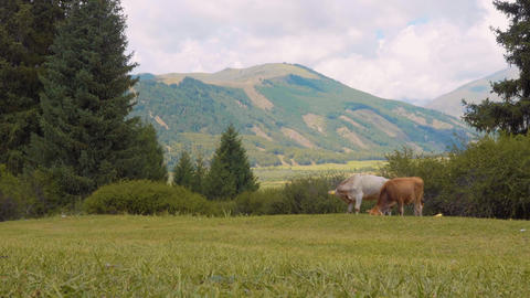 Bulls and cows grazing on summer pasture on highlands in mountain valley Footage
