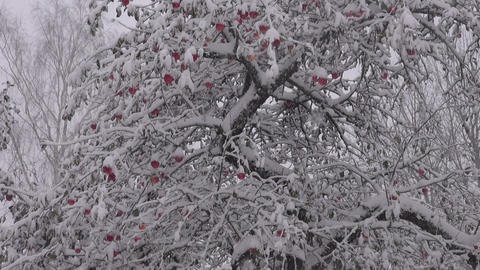 Early snowfall in autumn orchard apple tree garden. Red apples and snow on tree Live Action