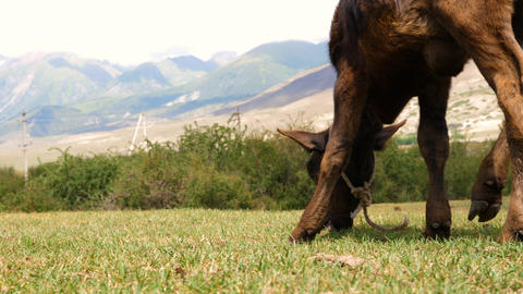 Brown calf eating green grass on summer fields at mountain landscape Footage