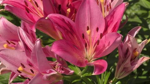Garden Lily violet GIF