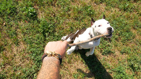 POV top-down view, owner tease cute young beagle dog with wooden stick, slow Live Action
