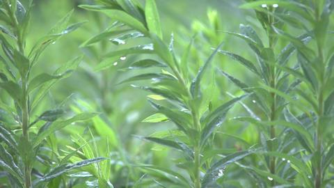 4K 雨上がりの草 ビデオ